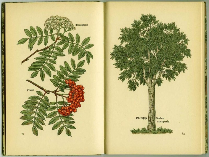 Eberesche (Sorbus aucuparia).  Mountain Ash