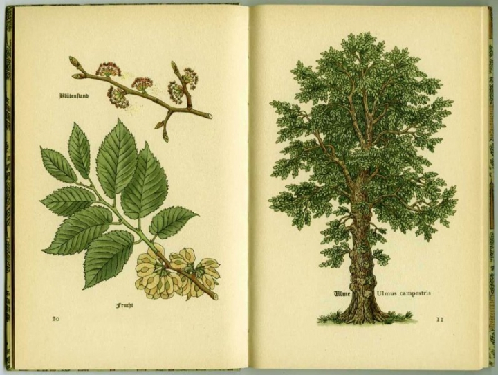 Ulme (Ulmus campestris).  European or Field Elm